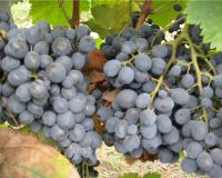 Грузинское вино и