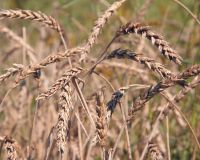 Масштабные зерновые