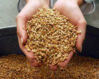 Пшеница продолжит