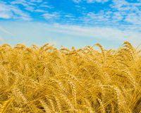 Медведев: зерновые