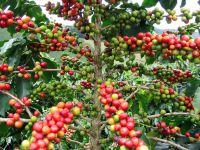 Кофе дорожает рекордными