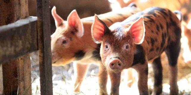 Вирус косит свиней в