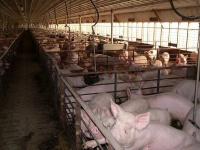 Росстат: свинина,