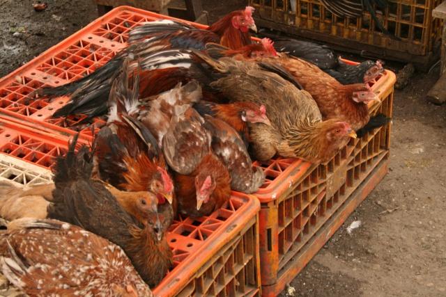 Птичий грипп: США