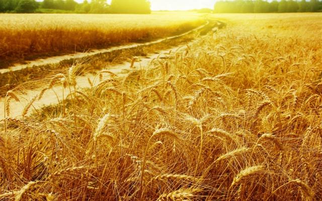 В РФ вывели сорт пшеницы