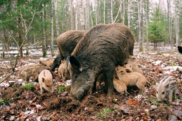 РСХН: АЧС косит свиней в