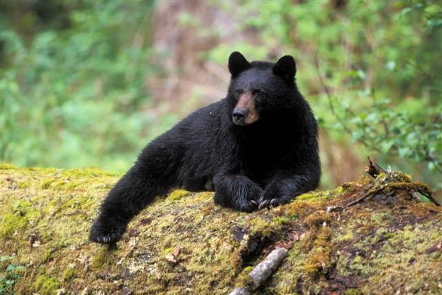 Медвежий характер